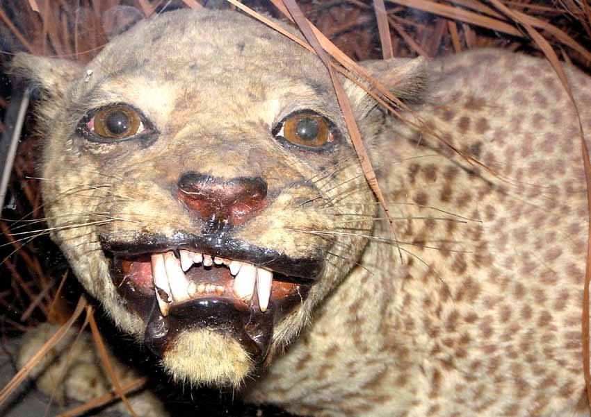 zanzibar leopard martin walsh